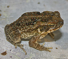 The Cane Toad: Ugly